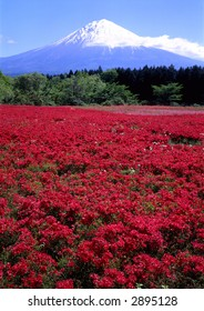 A field of beautiful red Azaleas with Mount Fuji