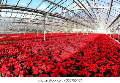Field of beautiful red poinsettias - Christmas flowers