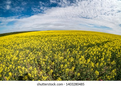 Field of beautiful springtime golden flower of rapeseed with blue sky, canola colza in Latin Brassica napus with rural road and beautiful cloud,  rapeseed is plant for green industry. Wide angle