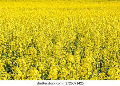 Field of beautiful springtime golden flower of rapeseed with blue sky, canola colza in Latin Brassica napus with rural road and beautiful cloud,  rapeseed is plant for green industry
