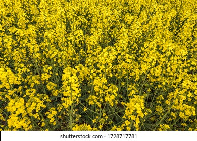 Field of beautiful springtime golden flower of rapeseed with blue sky