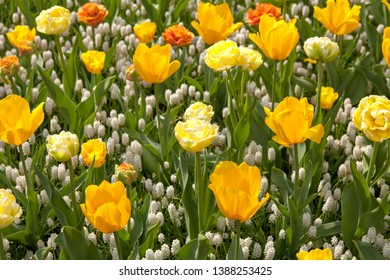Field of beautiful tulips and white grapes in closeup,