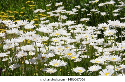 A field of beautiful white and yellow shasta daisies (leucanthemum) and other yellow flowers