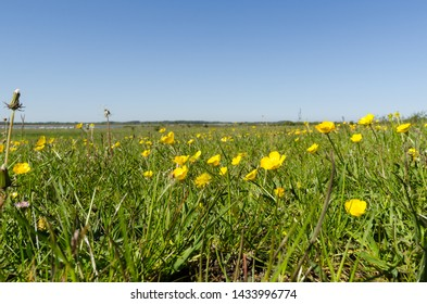 Field with beautiful yellow Buttercups closeup by springtime in a swedish nature reserve at the island Oland