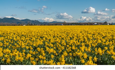 Field of beautiful yellow daffodils. Blooming narcissus in spring.