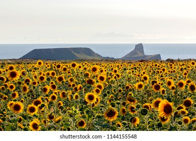 Field of beautiful yellow sunflowers at Rhossili Bay on the Gower Peninsular - Helianthus- helios.