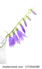 Field bellflower - Campanula rapunculoides. A branch of flower in a glass vase on white background