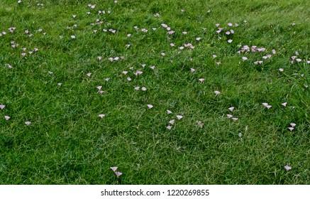 Field Bindweed in Bloom