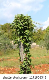 Field bindweed or Convolvulus arvensis or European bindweed or Creeping Jenny or Possession vine herbaceous perennial creeping plant covering large wooden vineyard pole with grass and cloudy blue sky