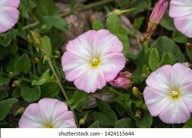 Field Bindweed Flowers in Bloom in Springtime