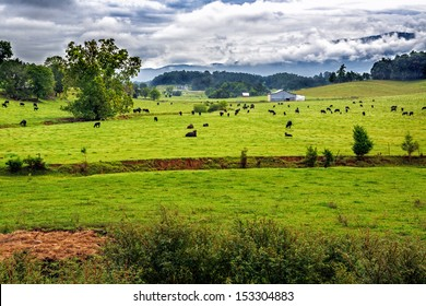 Field of black angus cows in summer scenic landscape
