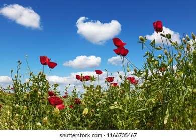 Field of blooming anemones of the family of buttercups. Adorable little curly clouds in the blue spring sky. Early spring in Israel. Concept of ecological and rural tourism