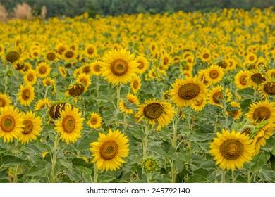 field of blooming beautiful sunflowers