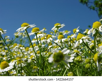 field of blooming camomile (Matricaria chamomilla) - homeopathic flowers