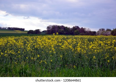 Field of blooming colza during spring