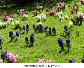 field with blooming hyacinths in a park