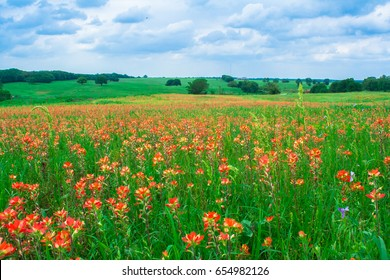 A field of blooming Indian Paintbrush wildflowers in Norman, Oklahoma, USA