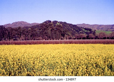 Field of blooming mustard in front of a vineyard
