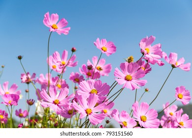Field of blooming pink cosmos flowers in Thailand