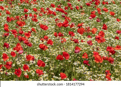 Field with blooming red poppies (Papaver rhoeas, flanders poppy) and German chamomile (Matricaria chamomilla, wild chamomile)