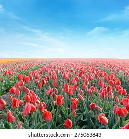 field with blooming red tulips under a sunny sky