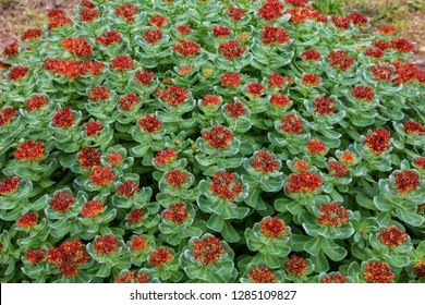Field of blooming Rhodiola Arctic on the Solovetsky Islands, Murmansk region, Russia