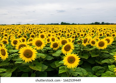 a field of blooming sunflowers