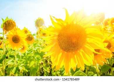 a field of blooming sunflowers against a colorful sky