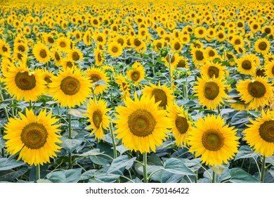 field of blooming sunflowers. agricultural landscape.