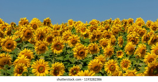 field of blooming sunflowers and blue sky background