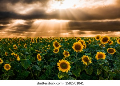Field of blooming sunflowers on a background sunset. Beautiful summer landscape
