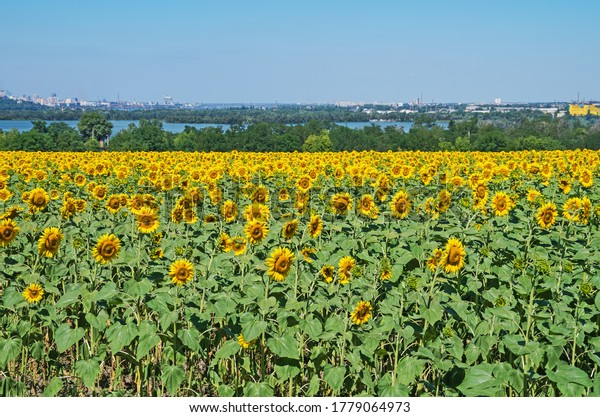 field-blooming-sunflowers-on-background-