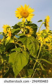 Field of blooming sunflowers on rural landscape