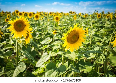 Field of blooming sunflowers on a summer day under blue sky