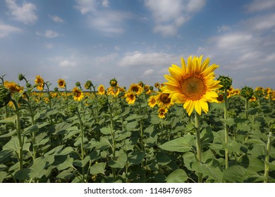 Field of blooming sunflowers on a sunny summer day