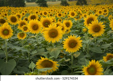 field of blooming sunflowers on in thailand
