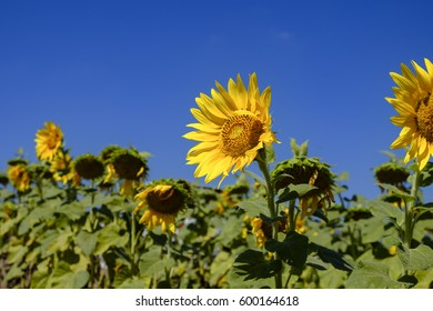 field of blooming sunflowers with sky blue. Concept Summer landscape