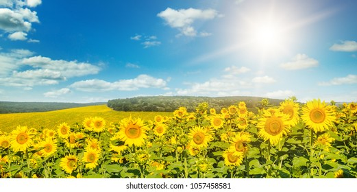 Field with blooming sunflowers and sun on cloudy sky. Agricultural landscape. Wide photo.