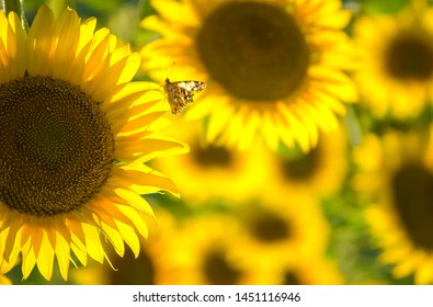 field of blooming sunflowers. Sunflower natural background. Sunflower blossoming close-up. Bright butterfly on  flower. Selective focus image.
