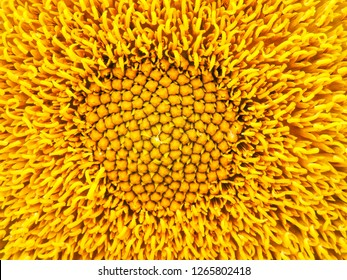 field of blooming sunflowers.Top View, Space for Text.Sunflower field landscape. Sunflower field panorama. Sunflower field in sunny day landscape.Beautiful flower in the garden. Close-up.Sunny day.