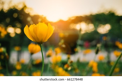 field of blooming yellow flowers on a background sunset