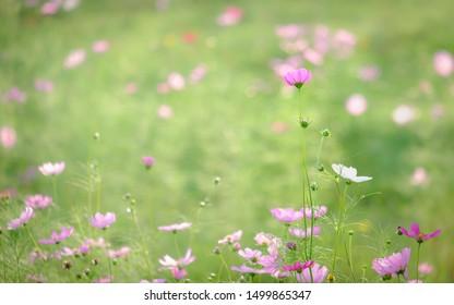 field of blooming yellow sulphureus pink flower in the garden, Thailand.