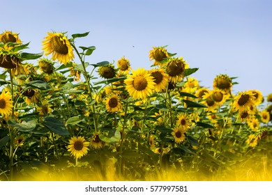 Field of blooming yellow sunflowers on a background sunset as harvest concept