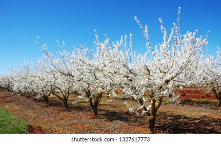 a field of blossoming almond trees