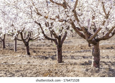 a field of blossoming almond trees in full bloom