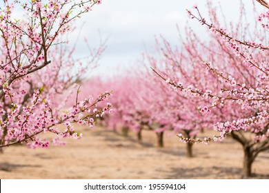 A field of blossoming almond trees. Shallow depth of field