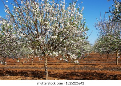 field of blossoming almond trees in south of Portugal