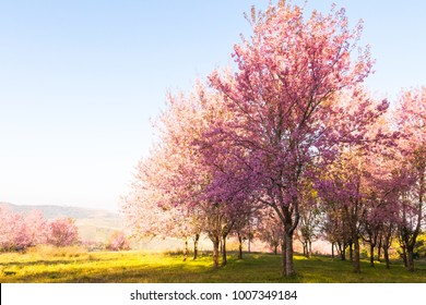 The field of blossoming pink Wild Himalayan cherry flowers (Thailand's sakura or Prunus cerasoides), known as Nang Phaya Sua Khrong in Thai at Phu Lom Lo mountain, Loei, Thailand.