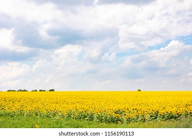 field of blossoming sunflowers under a blue sky