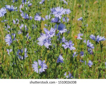 Field of blue Chicory flowers. Common succory blossoms close up. Cichorium intybus flower, called as blue sailors, coffee weed, or wild endive is herbaceous, perennial plant in the family Asteraceae.